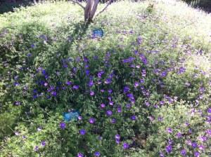uc riverside botanical garden purple taller ground cover