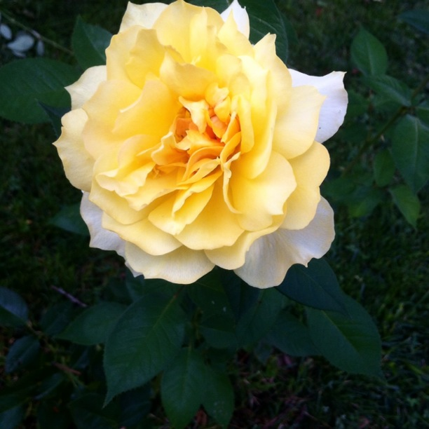 yellow_rose_full